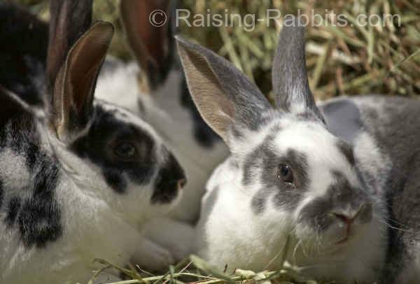 Three broken otter Rex rabbits raised by Aurora Rex Rabbit Ranch.