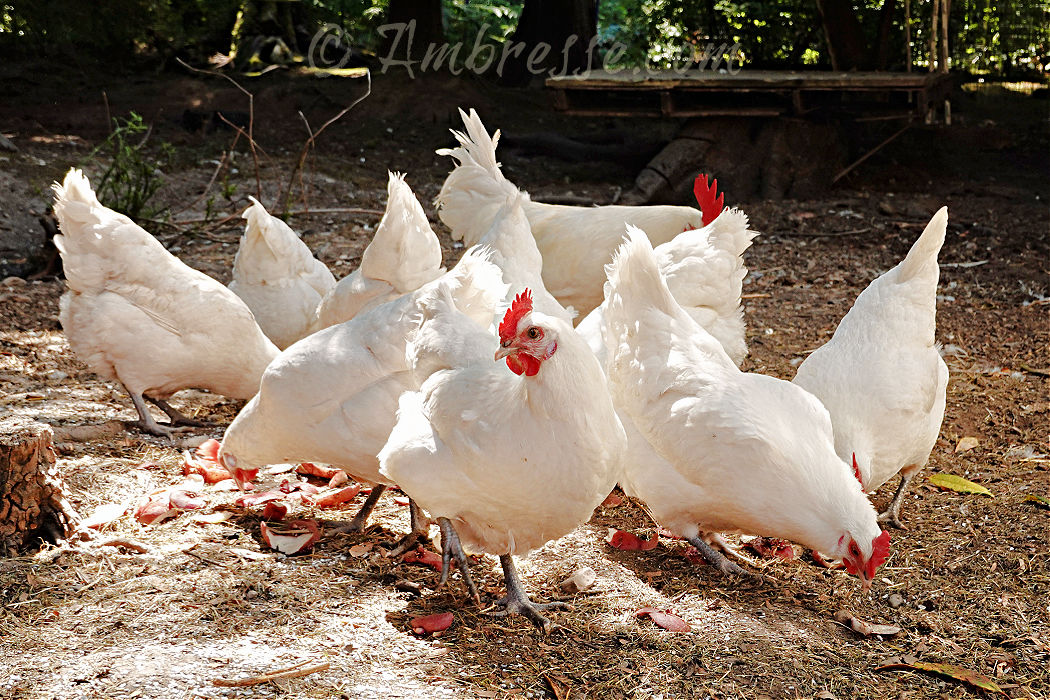 Small flock of American Bresse Chickens at Ambresse Acres, in Washington State.
