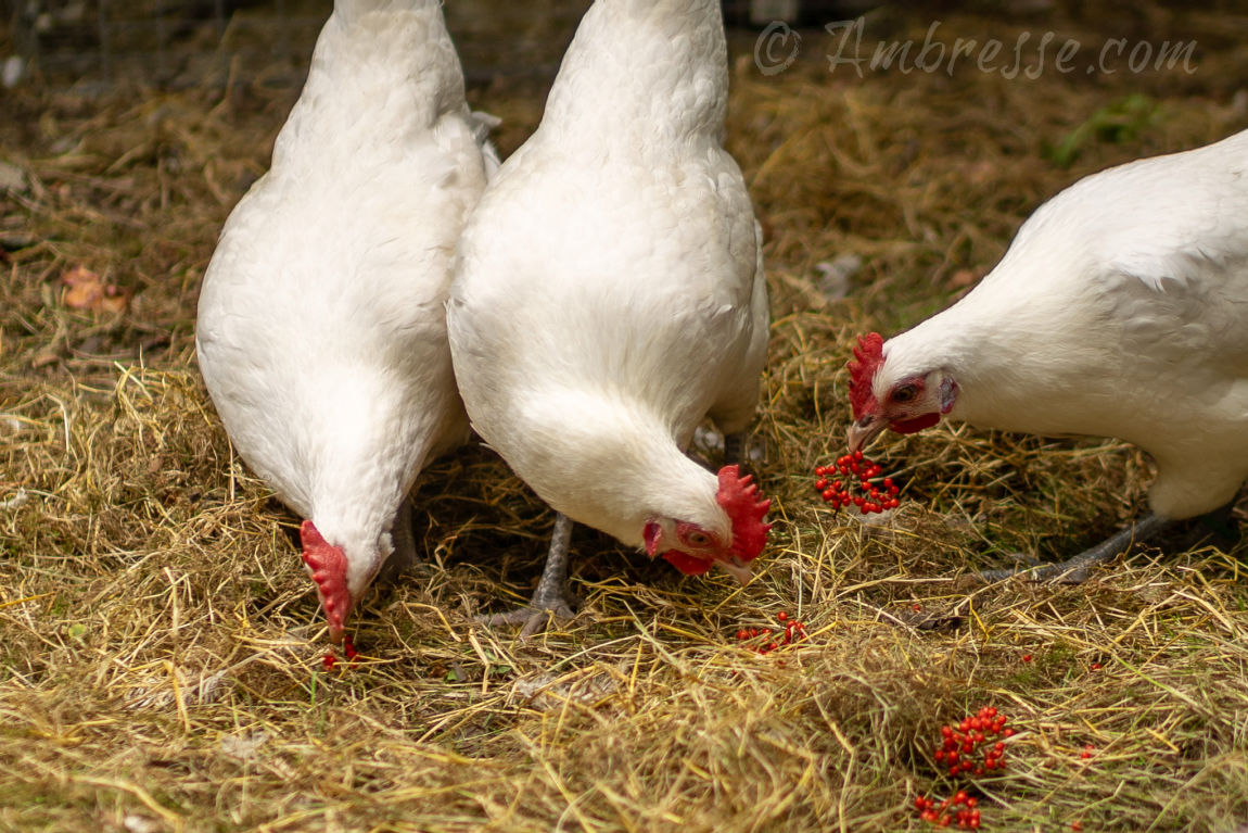 Three American Bresse hens foraging the field for deliciousness. Foraging is a strength of the American Bresse breed.